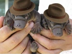 two-baby-platypuses-wearing-fedoras_-Youre-welcome_